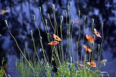 De ochtendstond heeft goud in de mond (coos1972) Tags: macro nikon ganzen meeuw landschap duiven onderweg honden beestjes strijklicht d5000