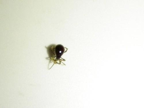 Bites Bed Spider Spider Beetle Not a Bed Bug