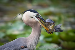 Great Blue Heron at Kenilworth Aquatic Gardens (Anna Wrobel) Tags: flowers nature dc july waterlilies workshop 2010 conservancy the kenilworthaquaticgardens lotuses apw707 annawrobelphotography