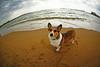 because the earth is round (moaan) Tags: dog beach globe corgi footprints fisheye welshcorgi explored pochiko ef15mm ontheshoreofthesea gettyimagesjapanq1 gettyimagesjapanq2