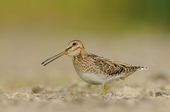 Snipe (Gallinago gallinago) (m. geven) Tags: bird nature animal fauna iceland weide adult heather meadow natuur camouflage calling dier avian stilt vogel weiland heide avifauna snipe naturesfinest weidevogel gallinagogallinago ijsland roepen bekassine langesnavel icl mrar schutkleur bogarnes hooiland steltloper blaten longbill breedingbird bcassinedesmarais lowpointofview meadowbird broedgebied laagstandpunt broedvogel volwassenvogel moerasvogel schaarsebroedvogel breedingarea ijslandiceland waternsip zigzagvlucht