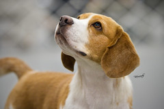 Robbie - 15 Inch Beagle (Red/White) (Neptunecocktail) Tags: show food dog beagle rally agility dogshow obedience attention showing bait attentive showdog freestack freebait conformations 15inchebeagle
