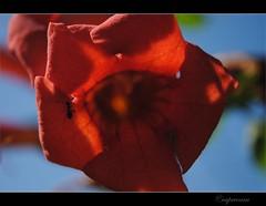 The flower's ant (capreoara) Tags: summer flower macro up field june fun nikon dof close july romania depth 2010 oradea d3000