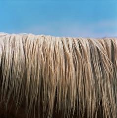 hair of a stallion (donsnyc) Tags: california ranch horse tree hair lens smoke palm hasselblad springs stallion 500cm sonnar 150mm