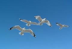 novastock5323 (Gerard Fritz) Tags: seagulls bird sc birds animal animals freedom fly flying wings seagull flock flight wing southcarolina floating charleston getty float fritz gerard isleofpalms novastock gerardfritz