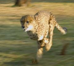 Sprinter (Plumerio Pipichas) Tags: animal southafrica mammal feline wildlife fast felino cheetah sprint rpido gauteng hecholamocha acinonyxjubatus guepardo morningrunner runer sudfrica dewildt challengeyouwinner ltytr1 plumeriopipichas annevandykcheetahcentre