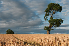 Ria's tree on a summer evening (197/365) (Madhouseof5) Tags: summer sky tree field clouds nikon wheat 365 staffordshire 2010 rias gmt cannockchase d300 rugeley treesubject nikonflickraward ppt3652010 madhouseof5portfolio madhouseof5textureassignment