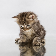 Mirror cat (crsan) Tags: reflection cute animal cat studio mirror kitten sitting sad sweet lonely 500x500 strobist winner500 thecatwhoturnedonandoff christianholmercom