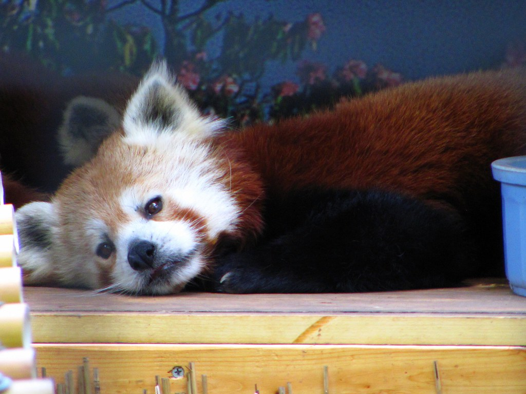 The World's Best Photos Of Funny And Redpanda