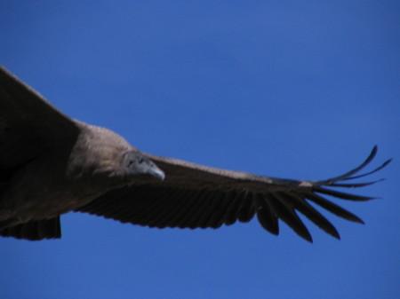 Close-up condor