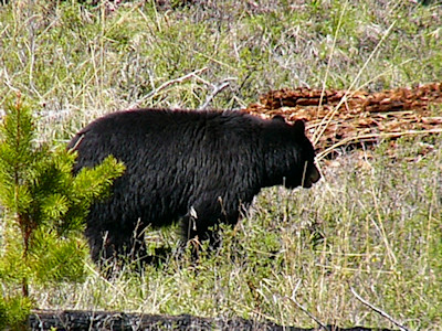 Yellowstone National Park 2005 - Mother bear