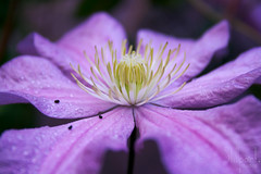 Shine (Roxie Lune) Tags: flower color macro dof shine purple clematis stamen