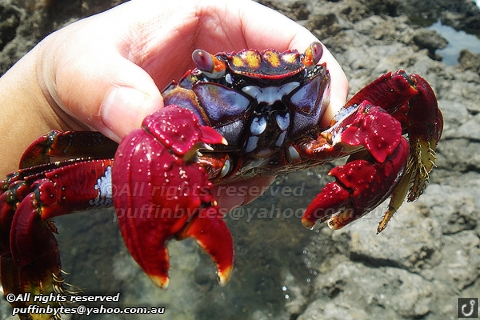 Red Rock Crab - Grapsus adscensionis