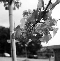 La Parra / The Grape Vine (Gabo Barreto) Tags: españa 6x6 tlr mediumformat spain dof bokeh galicia grapes grapevine gabo expiredfilm barreto narón yahicamat gabobarreto