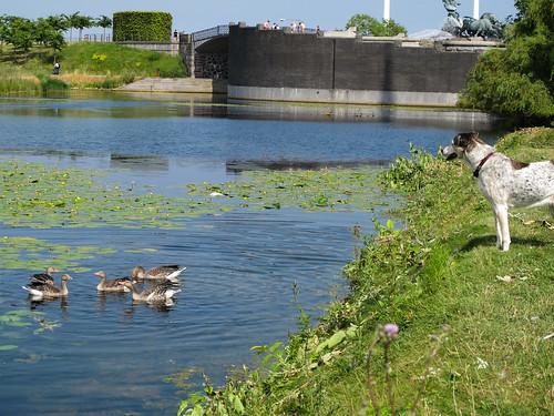 Dog with Geese - Copenhagen, Denmark