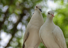 Doves (Tauseef Zafar (Digital Fly)) Tags: dove doves whitedove