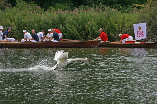 Swan Upping 2009-Swan taking off with skiffs back