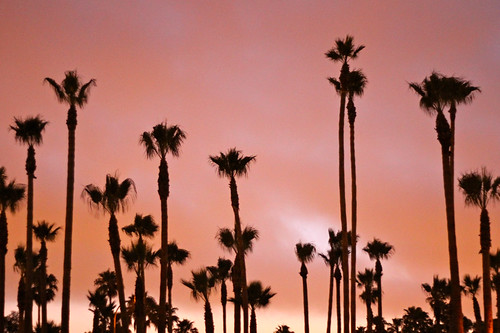 palms at dusk in Long Beach