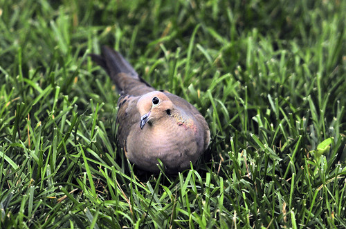 mourning dove looking up