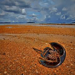 Horseshoe Crab Dead at Beach