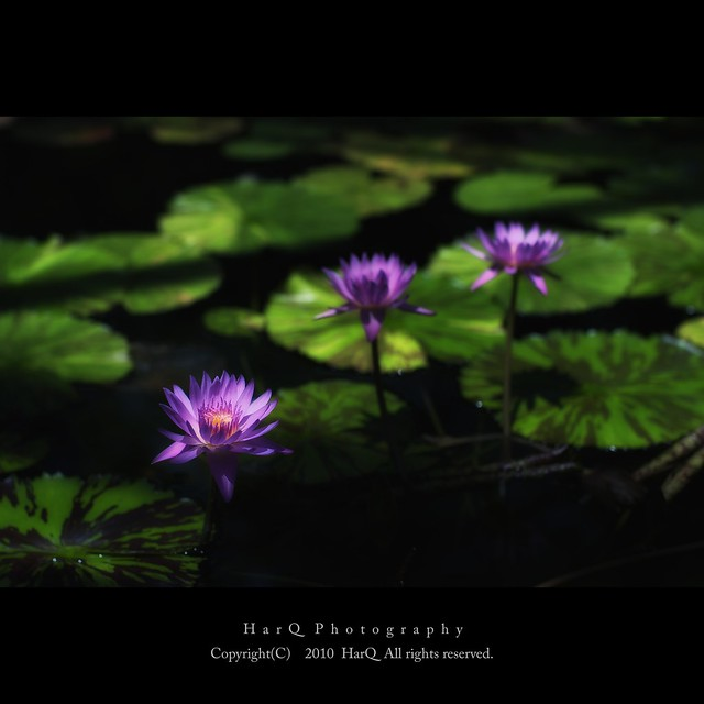 Water Lilies *
