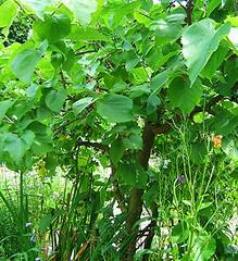 Morus nigra, Black mulberry, zwarte moerbei (ekenitr) Tags: red tree rot netherlands fruit rouge bomen berries boom juli shrub zuidholland struik moraceae blackmulberry morusnigra schwarzemaulbeere zwartemoerbei moerbeifamilie mriernoir