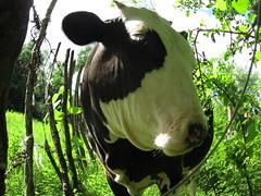 coquette (Alfredo Alanis M.) Tags: animal méxico cow nuevoleon mexique mexiko messico 墨西哥 メキシコ المكسيك мексика montemorelosnl