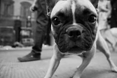 Dog Style #2 (guido.masi) Tags: street blackandwhite bw dog white black cane canon photography eos florence streetphotography masi bn photowalk firenze bianco nero guido biancoenero 2010 guidomasi