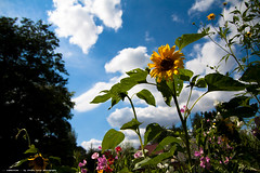 summertime (Stefan Lorse) Tags: summer sky plant clouds germany deutschland sommer saxony pflanze himmel wolken depthoffield sachsen sunflower sonneblume tiefenunschärfe tamron1750mm canoneos50d