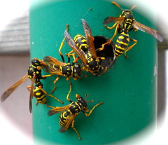 Polistes dominula on green post (Addicted2Hymenoptera :)) Tags: polistesdominula paperwasp vespidae yellow black green hole insect arthropod hymenoptera collectivity cluster colony group gathering wings