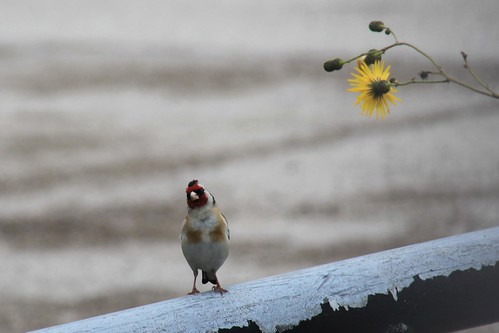 Goldfinch on wasteland near Liverpool Marina