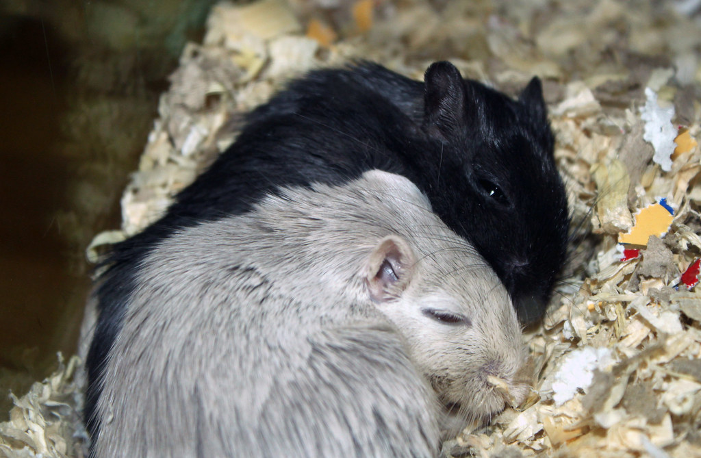 The World's most recently posted photos of gerbils and