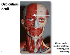Orbicularis oculi - Muscles of the Upper Extremity Visual Atlas, page 6 (Rob Swatski) Tags: york podcast eye college face skeleton skull photo movement model education lab exercise body head pennsylvania muscle muscular review creative commons system tendon medical upper organ study human massage anatomy laboratory learning atlas bone guide practice therapy visual biology orbit harrisburg facial skeletal eyelid wiki winking clinical blinking squinting physiology connective kinesiology physicaltherapy hacc itunesu orbicularis oculi musculoskeletal swatski robswatski biogeekiwiki biol121