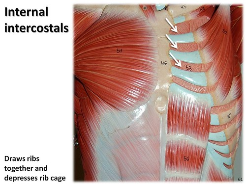 Internal Intercostals Muscles Of The Upper Extremity Visual Atlas