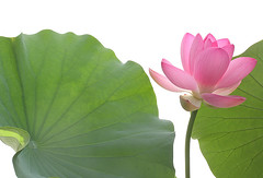 Lotus Flower - IMG_3834 (Bahman Farzad) Tags: flowers flower macro yoga peace lotus relaxing peaceful meditation therapy lotusflower lotuspetal lotuspetals lotusflowerpetals lotusflowerpetal