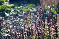 Garden (ramyj1) Tags: summer inspiration blur flower detail love purple sunny 1855 graden a230