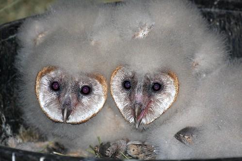 barn owls dave harper oakley