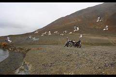Black Headed Seagulls in flight at Pangong Tso Lake (Arvind Manjunath) Tags: india himalaya polarizer incredible leh himalayas ladakh cpl 2010 hoya canonefs1785mmf456isusm incredibleindia canon40d arvindmanjunath img12865