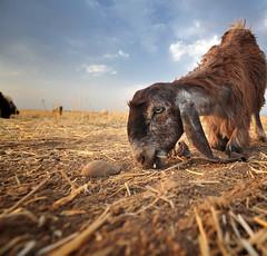 b (lachicaphoto) Tags: street children war cows iraq erbil kurdistand