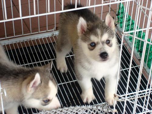 huskies  (5)