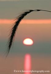 KAScott_20100731_8800_2759b (Ken Scott) Tags: sunset usa grass silhouette weed michigan lakemichigan greatlakes freshwater voted sleepingbeardune leelanau canadawildrye stop9 sbdnl sleepingbeardunenationallakeshore stockingscenicdrive mostbeautifulplaceinamerica kenscottphotography kenscottphotographycom