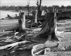 Psyche Bend Floodplain Stumps