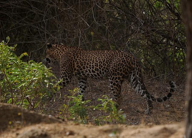 leopard1B
