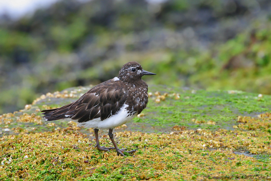 Black-Turnstone-071006
