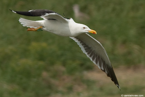 Lesser Black-backed Gull, adult, G[M.AMP] with GPS logger