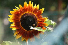 sunflower 064
