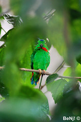 Perroquet / Parrot @ Pairi Daiza (BeNj! ) Tags: 3 green nature animal by gold nikon flickr 5 awesome natur award parrot vert giraffe capture macaw parc oiseau paradisio ara feuilles benj girafe perroquet daiza pairi