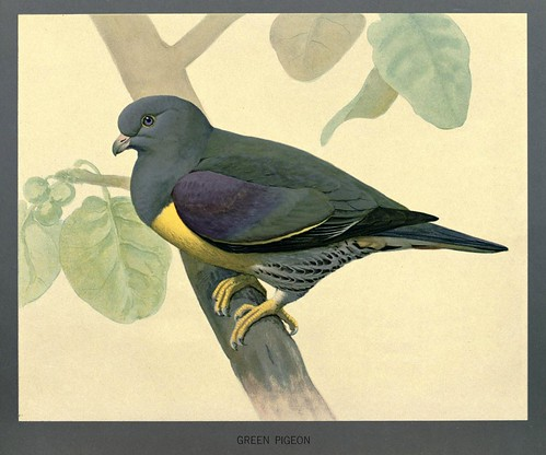014-Paloma verde-Album of Abyssinian birds and mammals 1930- Louis Agassiz Fuertes