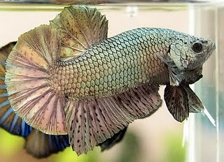 Giant Betta Fish Gold