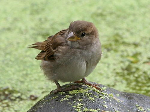 House Sparrow; Passer domesticus